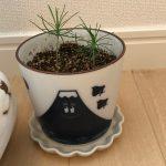 初心者が黒松を種から育てています!観察日記④